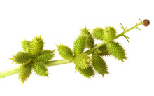 Cocklebur Fruits Isolated On W...