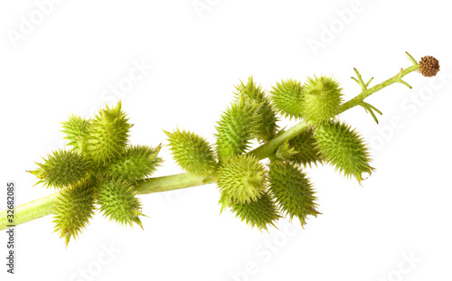Fotomural Cocklebur fruits isolated on white