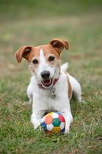 Parson Jack Russell Terrier Pl...