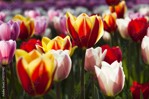 Poster Tulp Multicolored Tulips