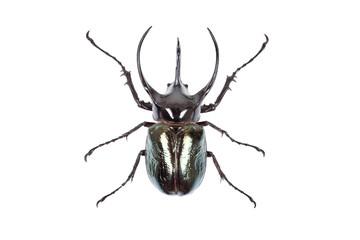 Black big beetle Chalcosoma atlas isolated