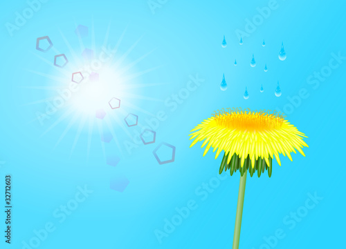 kwiat mleczu