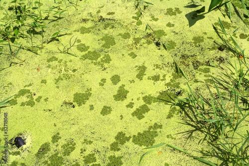 Fototapeta Wild algae
