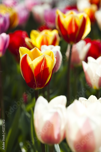 Poster Tulp Colorful tulips