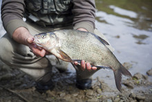 Big Male Bream Cought In The Small Lake