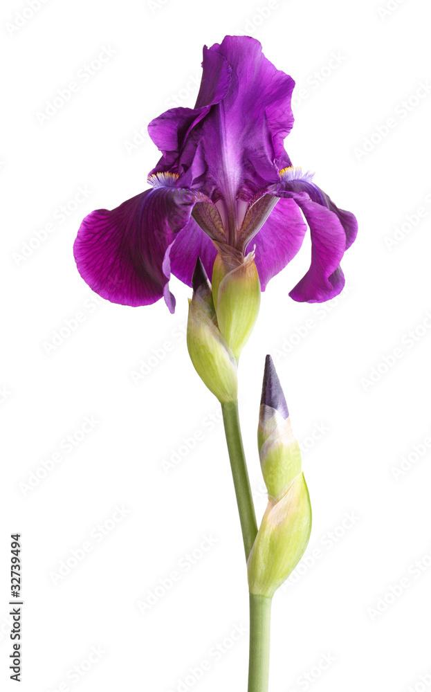 Fototapeta Stem with deep purple iris flower isolated on white