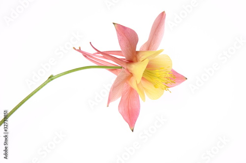 Fotografía Pink and yellow Columbine flower on white background