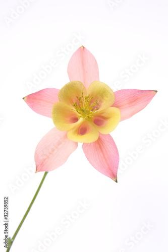 Pink and yellow Columbine flower on white background Tapéta, Fotótapéta