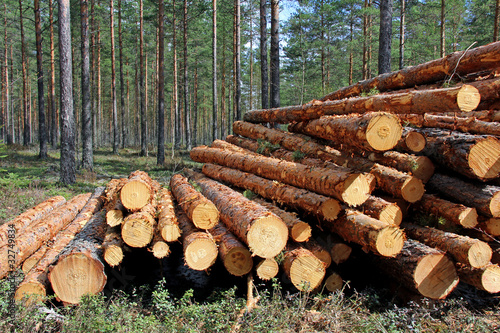 Photographie Cut and Stacked Pine Timber in Forest