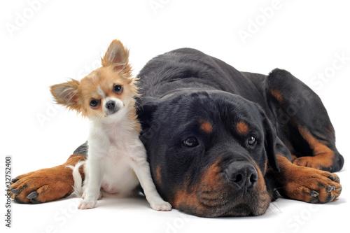 Foto  Rottweiler und Chihuahua