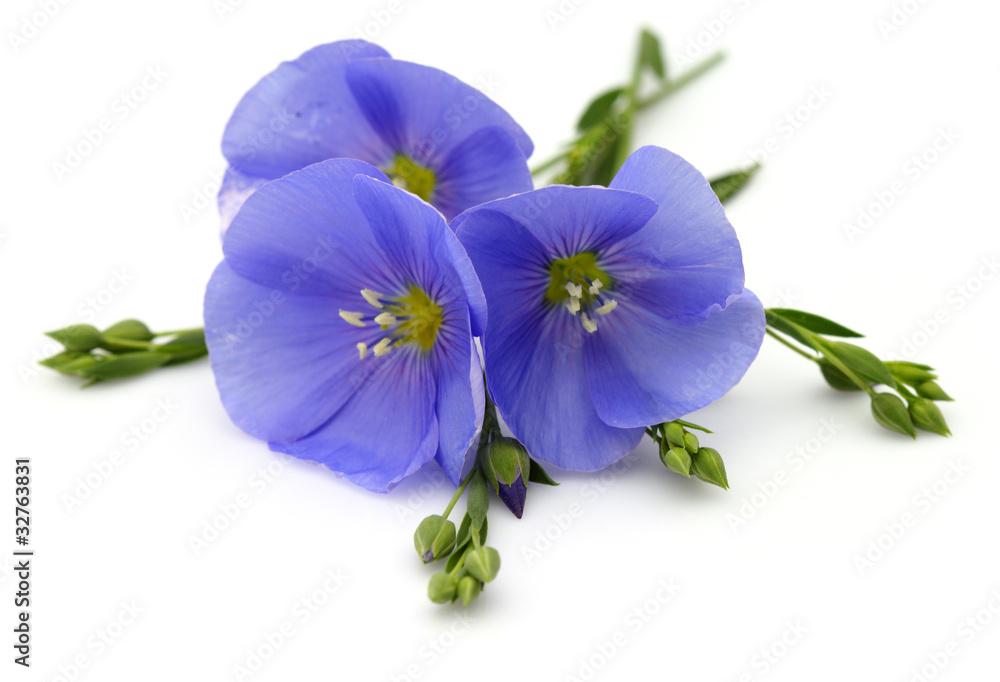 Fototapety, obrazy: Flowers of flax