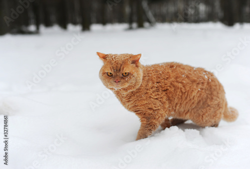 Photo  Brown Selkirk Rex Cats sitting on the snow