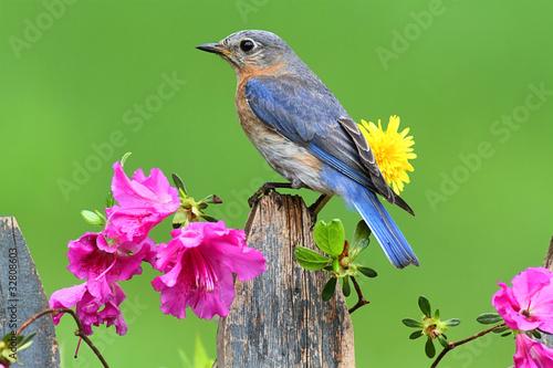 Sticker - Eastern Bluebird