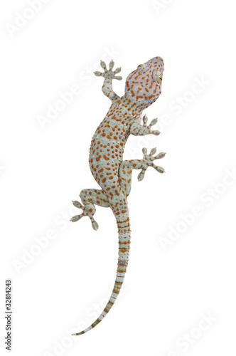Tokay gecko - Gekko gecko isolated on white background