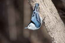 White Breasted Nuthatch Stand ...