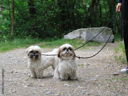 Cute Funny Shih Tzu Breed Dog Outdoors In A Park Buy This Stock