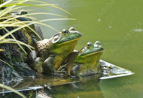 Foto op Canvas Kikker Pair of frogs