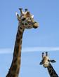 Due giraffe