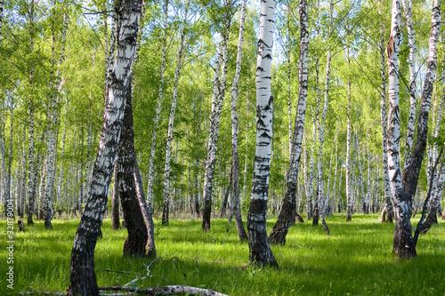letni-las-brzozowy-krajobraz