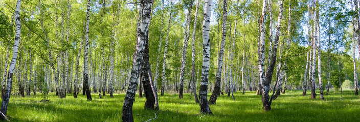 Naklejka summer birch forest landscape