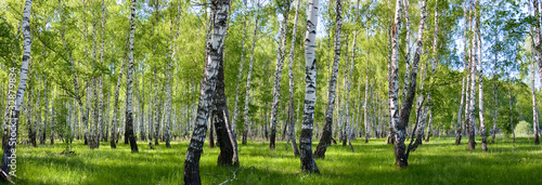 Stickers pour porte Pistache summer birch forest landscape