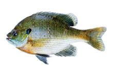 Bluegill Sunfish, Lepomis Macr...
