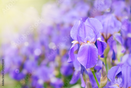 Poster Iris Violet iris