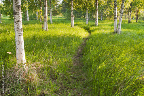 Foto op Aluminium Berkbosje Sunlit path in the birch forest