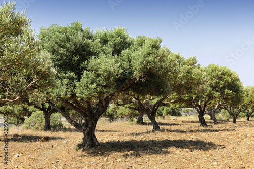 Photo sur Toile Oliviers Olive tree orchard near Kardamena