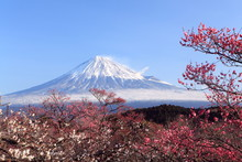 Mt. Fuji With Japanese Plum Bl...
