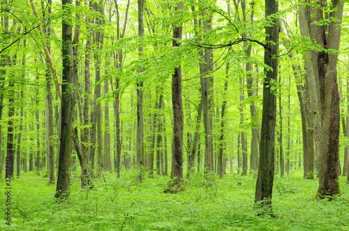 Fototapeta las zielony-las