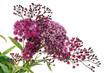 Fleurs de la spirée japonaise
