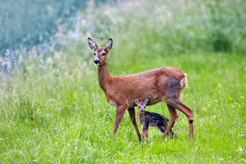 doe with very young fawn, Capreolus capreolus