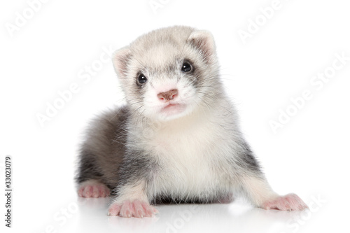 Fotografering  Ferret puppy