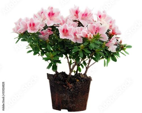 Pink Azalea flowers flowerpot