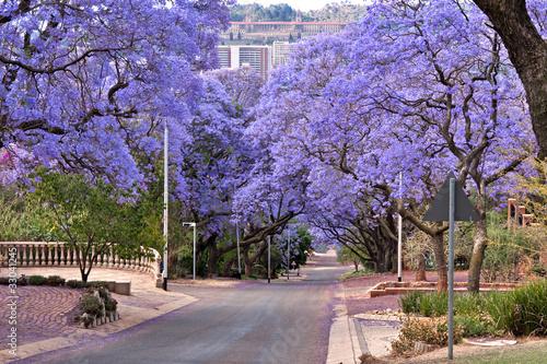 Foto op Plexiglas Zuid Afrika jacaranda trees