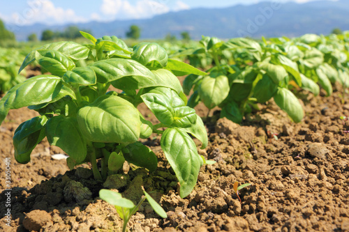 Foto basil cultivated field