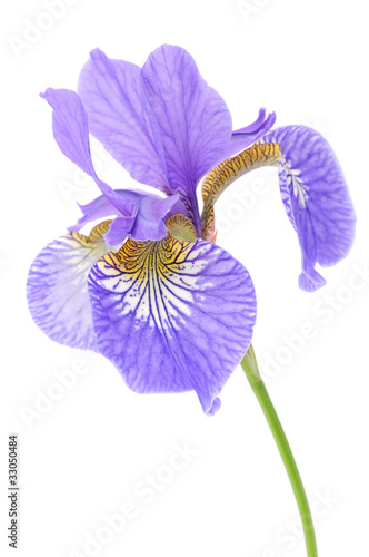 Foto op Plexiglas Iris Beautiful Purple Iris on White Background