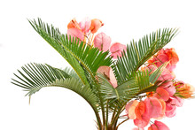 Sago Palm And Bougainvillea
