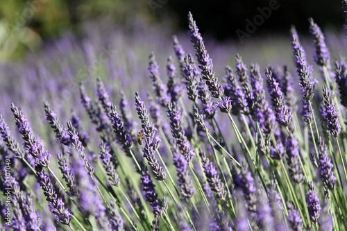 Poster Lavender Lavande : plante mellifère