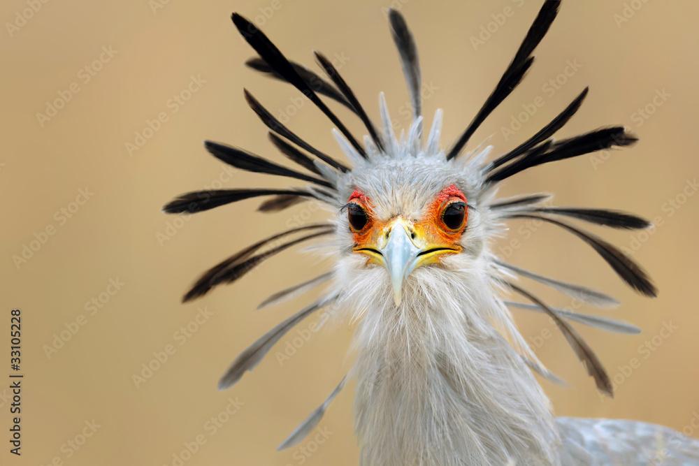 Photo  Secretary bird portrait