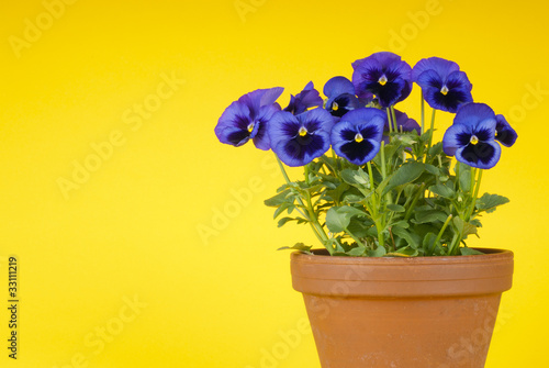 Papiers peints Pansies Purple Pansies on Yellow Background