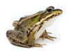 Rana ridibunda. Lake frog on white background