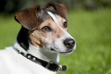Jack Russel Dog In The Grass A...