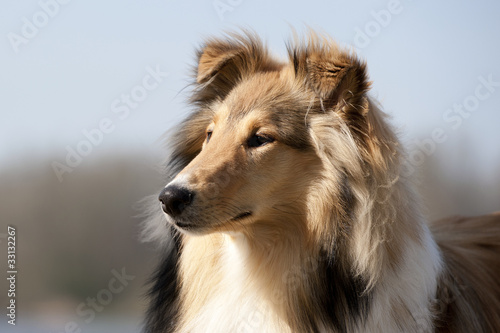 Foto auf Gartenposter Hund Scotch Collie sitting on the beach near a lake