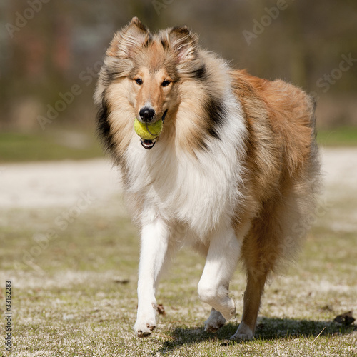 Poster Dog Scotch Collie running with a tennis-ball in his jaw