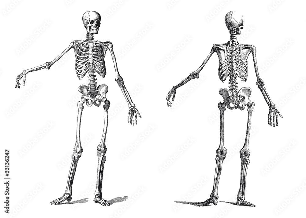 Human Skeleton Vintage Nineteenth Century Engraving Foto Poster