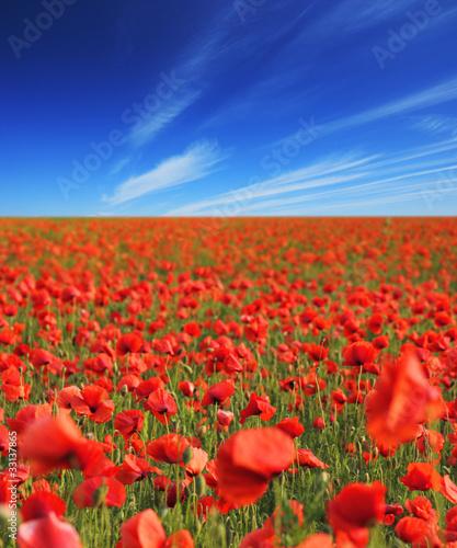 Fototapeta Beautiful poppy field obraz na płótnie