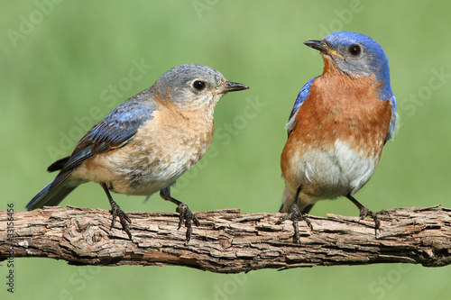 Aufkleber - Pair of Eastern Bluebird