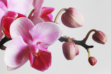 Fototapeta beautiful pink orchids on white background